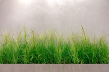 Ornamental Perennial Grasses And Follage Near Grunge Concrete Wall Background. Urban Environment Improvement