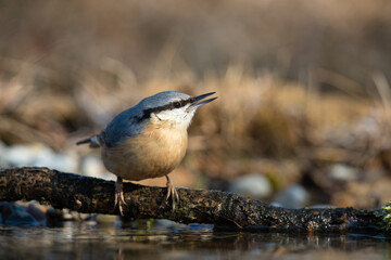 Eurasian nuthatch on a branch over a puddle