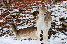Two Deer In The Woods After The First Snow Of Winter