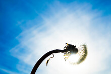 Silhouette Of Dandelion Seed Fly In Air Against Blue Sky With Clouds. Sunny Summer Day. Idea Of Windy Good Weather And Easiness. Spring Season Flower. Water Drops On Seeds.