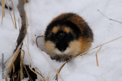 Norwegian lemming, an arctic wild animal in the snow looking for food Fototapeta