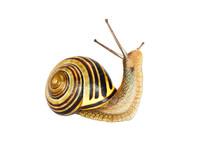 Snail. Animal Isolated On The White Background. Weinbergschnecke Vor Einem Wei En Hintergrund