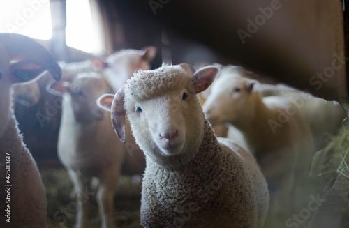 Fotografija sheep and lambs