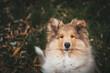 Mały owczarek szkocki, lassie, szczeniaczek