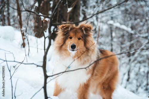 Fototapeta Młody Owczarek szkocki zimą, lassie w śniegu, collie rough szczeniak obraz