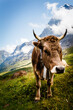 canvas print picture - cow in the mountains