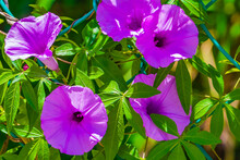 Mexican Violet Morning Glory Flower On Fence With Green Leaves.