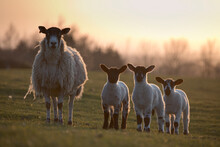 Sheep And Lambs In A Field In Spring At Dusk, North Yorkshire, England, United Kingdom