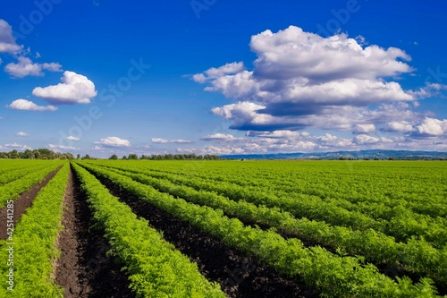 carrot field with blue sky and white clouds - fototapety na wymiar