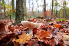 Mushroom (Lepiota) In The Forest
