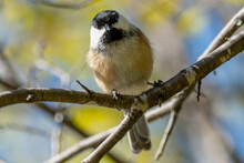 Closeup Of A Black-capped Chickadee Perched On A Branch - With A Green And Blue Blurred Background