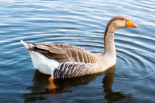 Goose On The Water. Goose On The Sea