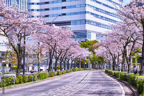 Tela 横浜市みなとみらい地区のさくら通り、道路の両側に満開の桜が生い茂る景観
