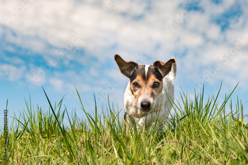 Obraz Jack Russell Terrier dog on a meadwon in front of blue sky - fototapety do salonu