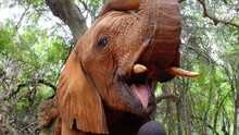 African Elephant With Open Mouth In The Jungle, Shows Tusk And Tongue