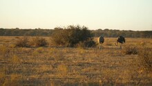 Silhouette Of Two Ostriches In African Savannah At Sunrise Cautiously Forage