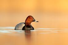 Common Pochard Bird Duck Male ( Aythya Ferina ) Close Up Photo Taken In Beautiful Sunny Morning