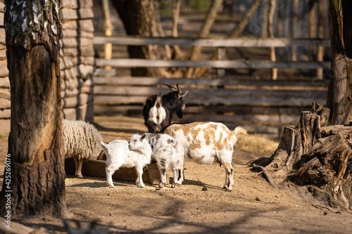 Fototapeta Goat head in the cage on a farm