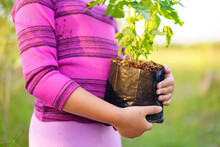 Closeup Hand Of Child Or Kid Girl Holding Trees To Plant Forest In Meadow Or People Planting Papaya Tree On Nature Green Grass And Soil For Natural Fertility Growth And Food With Agriculture On Garden