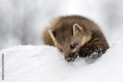 Fototapeta A forest marten plays on a snowy roof. obraz