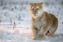 A Tiger Cub Enjoys Fresh Snow.