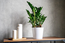 Large White New Candles In A Wooden Stand And Zamioculcas Zamiifolia Plant In White Flower Pot On The Table Against The Gray Concrete Wall. Home Decor Details