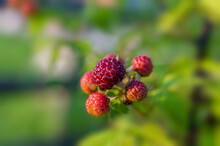 Ripening Blackberries On A Blurred Background On A Sunny Morning.