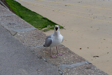 Seagull Squawking At Camera On The Sea Wall By The Beach