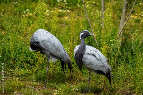 Fototapeta premium Ain, Auvergne Rhône-Alpes; September 09, 2021: two Demoiselle Cranes (Grus virgo) in the bird park, also called Demoiselle de Numidie, is a species of large wading birds of the Gruidae family.