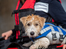 Portrait Of A Jack Russell Terrier Puppy In A Blue Life Jacket