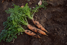 Fresh Organic Carrots With Green Leaves On The Ground. Vegetables. Healthy Eating.