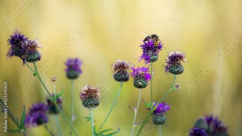 Fototapeta pszczoła na fioletowym kwiatku  obraz