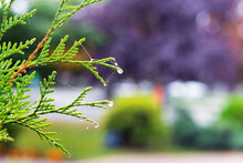 Juniper Branch With Raindrops On A Blurred Background