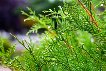 Juniper Branch With Drops Of Dew On A Blurred Background