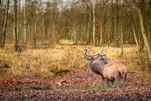 Two Buck Red Deer In A European Forest
