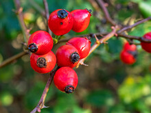 Closeup Of Red Rose Hips In Winter