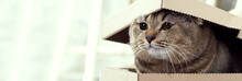 The Cat Looks Out Of A Cardboard Box With A Lid. Pet As A Gift. Scottish Fold Brown Cat And Cardboard Box