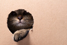 A Beautiful Scottish Fold Cat Looks Into A Cut Out Cardboard Box, Space For Text. The Cat Gets Out Of The Box