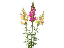 Yellow And Red Snapdragon Flower Bouquet Isolated On White