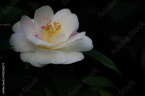 Fototapeta 白い花 obraz na płótnie