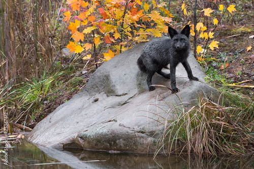Fototapeta premium Silver Fox (Vulpes vulpes) Stands Turned on Rock By Water Autumn