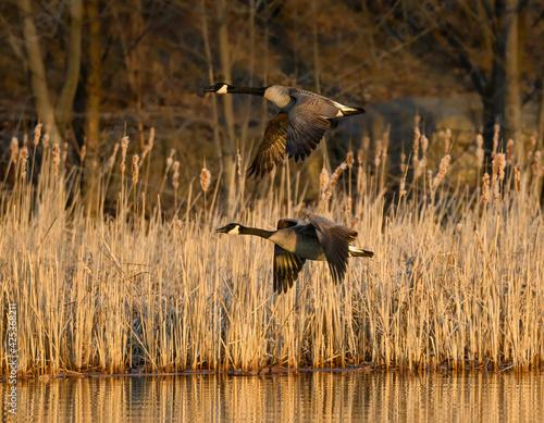 Fototapeta premium Two Canada Geese in Flight in Early Morning in Spring
