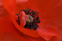Close-up Shot Of Red Poppy Petals, Pistil And Stamens