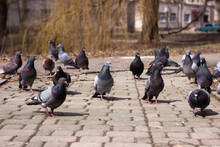 A Flock Of Gray, Black And Brown Pigeons Walks On Paving Slabs On A Spring Day. A Lot Of Bird On The Street.