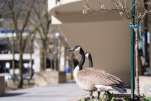 Canada Geese Standing At The Park In The Morning