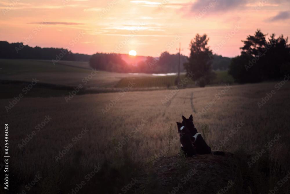 Psy patrzące na wschód słońca na wsi