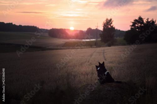 Fototapeta Psy patrzące na wschód słońca na wsi obraz