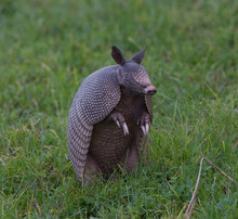 Wild Nine-banded Armadillo (Dasypus Novemcinctus), Or The Nine-banded, Long-nosed Armadillo, Is A Medium-sized Mammal, Sitting Up With Claws Exposed, In Green Grass, Curiously Looking To Its Right