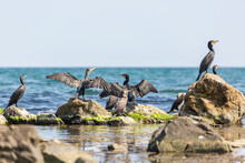 Cormorants Resting On Cliffs By The Sea And Dry Their Wings At The Summer Sun