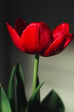 Red Tulip On Black Background